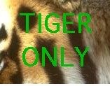 Tiger only